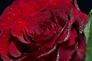Фотография Роза Крупным планом Макросъёмка Бордовый Капельки цветок