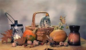 Картинки Натюрморт Морские свинки Тыква Орехи Корзинка Фонарь Продукты питания Животные
