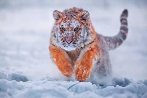 Обои Тигры Прыжок Снег Лапы