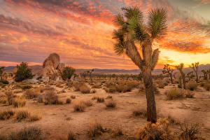 Фотография США Парки Рассветы и закаты Кактусы Калифорнии Joshua Tree National Park Природа