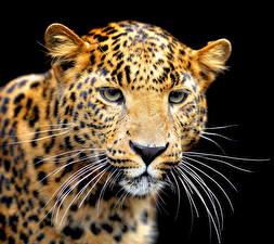 Картинки Большие кошки Ягуары Черный фон Морды Усы Вибриссы животное