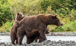 Картинки Медведи Гризли Детеныши Животные
