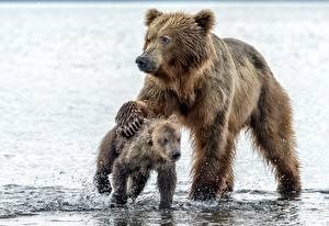 Картинки Медведи Гризли Детеныши Вода Двое Животные