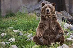 Обои Медведи Гризли Камень Сидящие Трава Животные