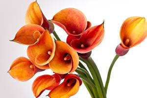 Картинка Белокрыльник Вблизи Белый фон Оранжевый Цветы