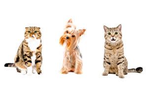 Картинки Кошка Собаки Белый фон Йоркширский терьер Три Животные