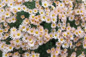 Картинка Хризантемы Много Крупным планом Цветы