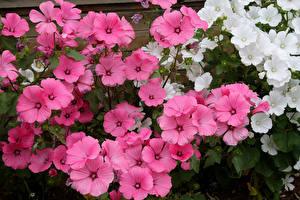 Картинка Крупным планом Розовый Lavatera Цветы