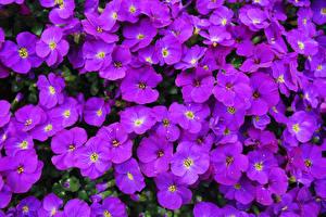 Картинка Крупным планом Много Фиолетовый Aubretia Цветы