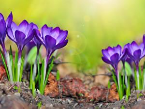 Картинка Крокусы Вблизи Фиолетовый Цветы