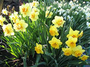 Фотографии Нарциссы Вблизи Желтый Цветы