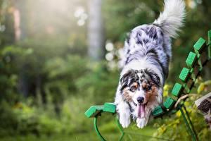 Фотография Собаки Австралийская овчарка Скамейка Животные