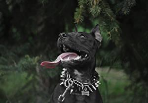 Фото Собаки Черный Язык (анатомия) Амстафф Животные