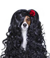 Картинки Собаки Оригинальные Розы Белый фон Джек-рассел-терьер Волосы