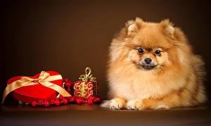 Фотография Собаки Праздники День святого Валентина Цветной фон Шпиц Сердечко Подарки Животные