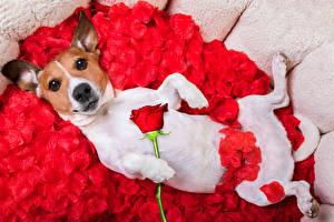 Картинка Собаки Розы Джек-рассел-терьер Красный Лепестки