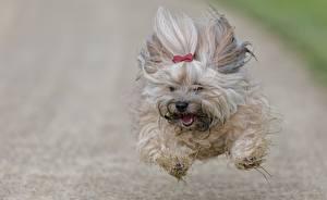 Картинка Собаки Бег Прыжок Летят Гаванский бишон Животные
