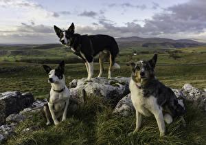 Фото Собаки Трое 3 Взгляд животное