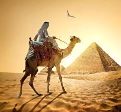 Картинка Египет Пустыни Верблюды Мужчины Пирамида Песок Cairo Природа Животные