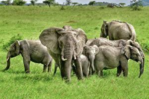 Картинки Слоны Детеныши Трава Животные