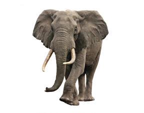 Обои Слоны Белый фон