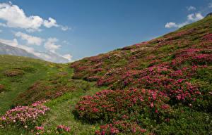 Фотография Франция Луга Рододендрон Холмы Трава Savoie Природа