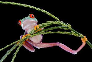 Картинки Лягушки Черный фон Лапы Животные