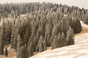 Фотографии Италия Зимние Леса Альпы Снег Ель Alta Badia Природа