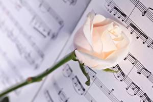 Картинка Ноты Розы Вблизи Белый Цветы