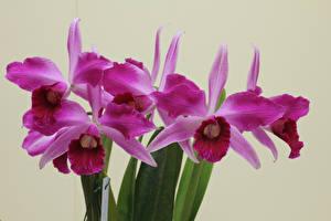 Картинки Орхидеи Крупным планом Цветной фон Розовый Цветы
