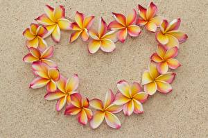 Фотография Плюмерия Песок Сердце Цветы