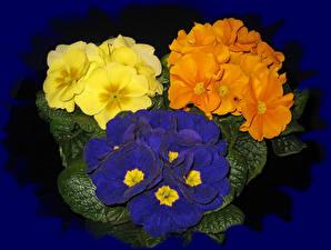 Фотография Первоцвет Вблизи Разноцветные