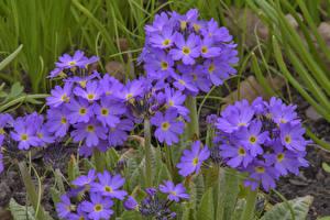 Фотография Первоцвет Крупным планом Фиолетовый Цветы