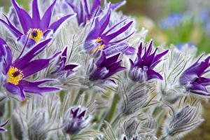 Фотография Прострел Крупным планом Фиолетовая Бутон цветок
