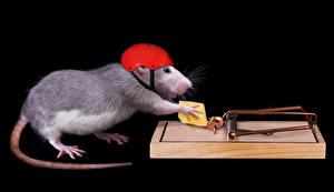Фотография Крыса Сыры Креативные Черный фон Шлема Хвост
