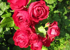 Обои Розы Крупным планом Красный Цветы