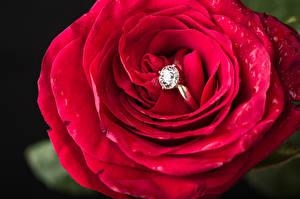 Картинка Роза Крупным планом Красная Кольца цветок