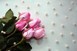 Обои Розы Жемчуг Капли Розовый Цветы