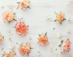 Картинка Розы Белый фон Цветы