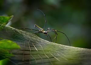 Картинка Пауки Вблизи Паутина Golden silk orb-weaver Животные