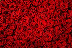 Фотография Текстура Розы Много Красный Цветы