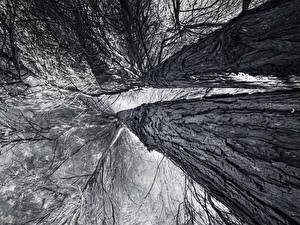 Картинки Ствол дерева Черно белые Вид снизу Ветки Деревья Природа