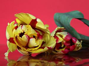 Фотографии Тюльпаны Вблизи Красный фон Вдвоем