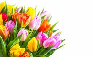 Картинка Тюльпаны Белый фон