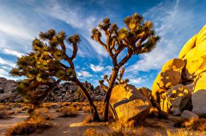 Обои Штаты Парк Кактусы Камень Калифорния Joshua Tree National Park Природа