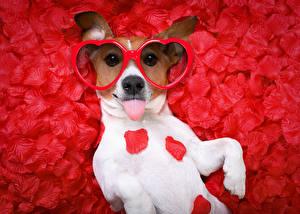 Фотография День всех влюблённых Собаки Джек-рассел-терьер Лепестки Красный фон Очки Сердечко Смешные
