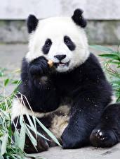 Обои Медведи Бамбуковый медведь Сидящие Животные