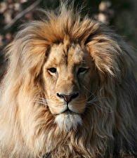 Картинка Большие кошки Львы Морда Взгляд
