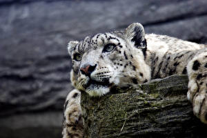 Картинка Большие кошки Ирбис Морда