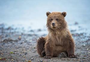Фото Медведи Бурые Медведи Детеныши Животные